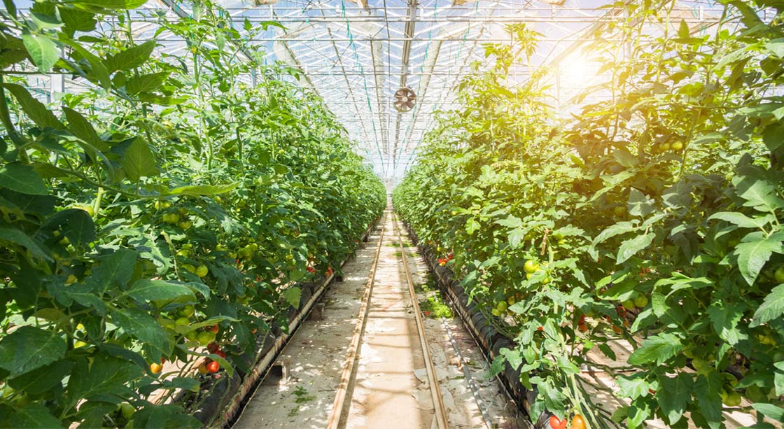 Interior of a greenhouse with vegetables
